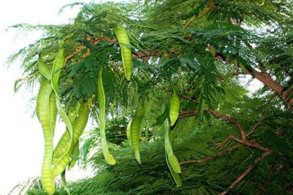 皂角树寓意