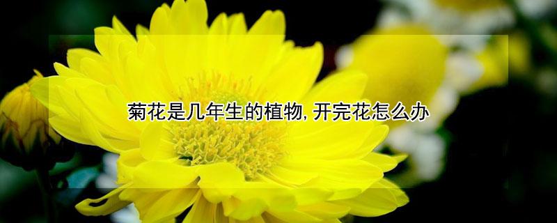 菊花是几年生的植物,开完花怎么办
