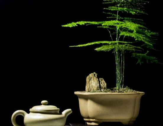 文竹花语,代表着永恒、朋友纯洁的心、永远不变