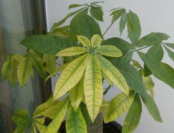 招财树叶子发黄怎么办,6种叶片变黄的原因和治疗方法