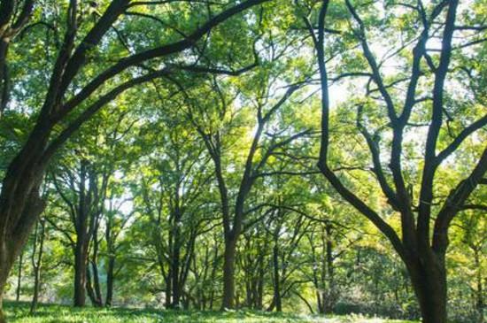 香樟树落叶时间和过程