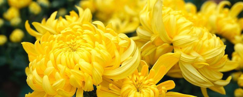 菊花养殖方法和管理