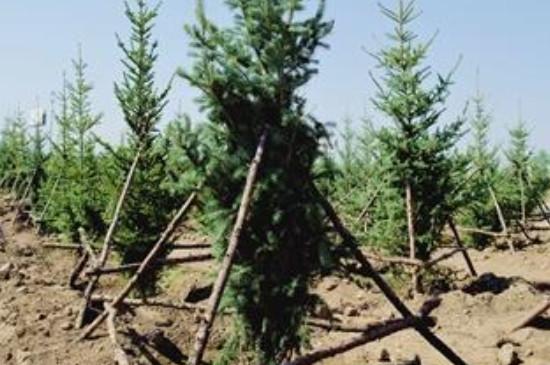 松树几月份移栽成活率高