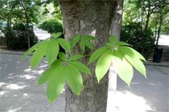 七叶树的繁殖方法,种子浸泡催芽播种繁殖