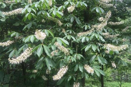 七叶树病虫害及防治方法,日灼病需防晒大量浇水养护