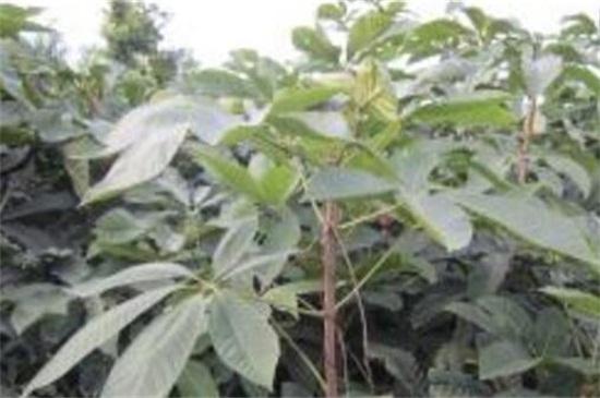 七叶树分月养护方法,在9~10月采果取种播种