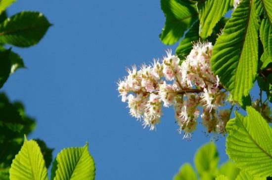 七叶树有什么作用,种子无毒可食用